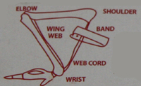 Wing Band